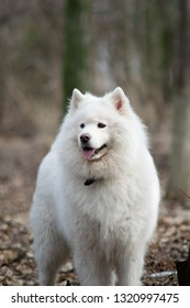 Samoyed dog with beautiful bokeh . Beautiful fluffy white dog. Amazing animal in the park