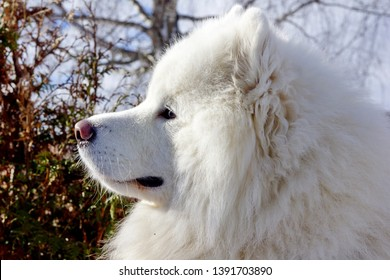 The Samoyed dog  is a breed of large herding dog, from the spitz group, with a thick, white, double-layer coat. It takes its name from the Samoyedic peoples of Siberia.