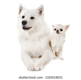 Samoyed dog and chihuahua in front of white background