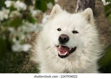 Samoyed dog in the flowered garden