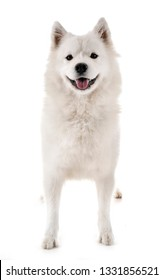 Samoyed dog in front of white background