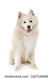 samoyed dog in front of white background