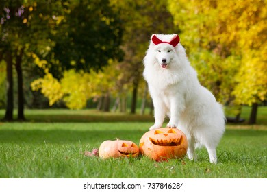Samoyed dog and halloween pumpkins. Dog outside in the autumn park with pumpkins.