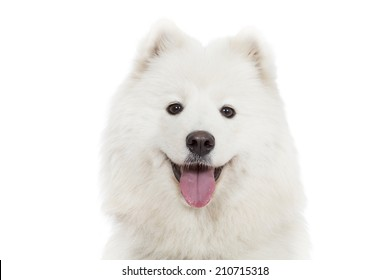 Samoyed dog has an open mouth with the tongue visible, isolated on white