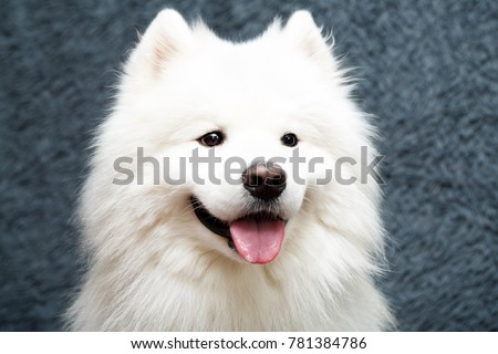 Samoyed dog at home