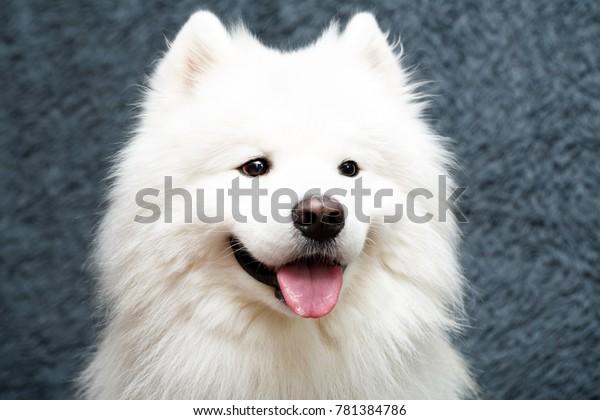 Samoyed dog at home