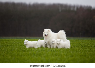 Samoyed dog. Husky Family