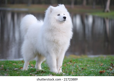 samoyed dog - Juvenile Champion of Russia