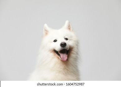 The samoyed dog makes a variety of naughty and lovely, happy and sad expressions. It is people's favorite pet, dog portrait combination series on a gray and white background