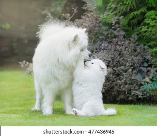 Samoyed dog. Dog mother with puppy playing on grass