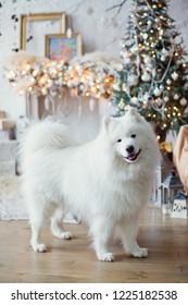 Samoyed dog near Christmas tree