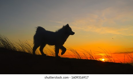 samoyed dog on the beach at sunset