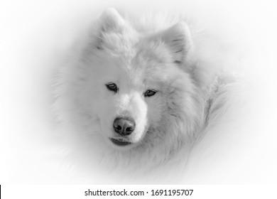 Samoyed dog on a black white background