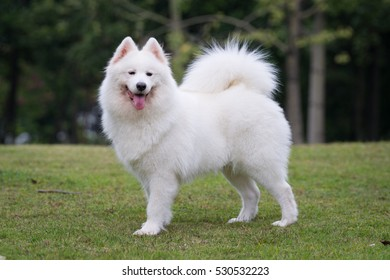 "The samoyed ""dog on the grass in the park"