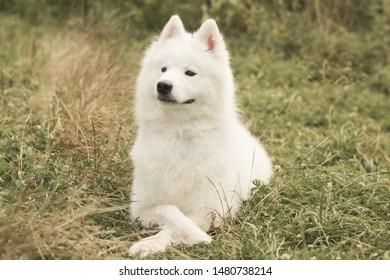 The Samoyed dog on his walk