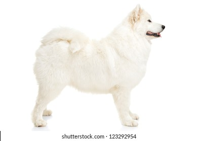 Samoyed dog on white background