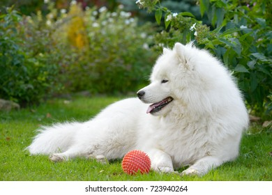 Samoyed dog in the park on the lawn