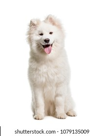 Samoyed, Dog, pet, studio photography, isolated on white