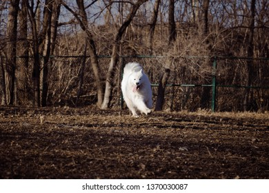A Samoyed dog dog playing in a dog park. A white Samoyed dog photographed in a jump.
