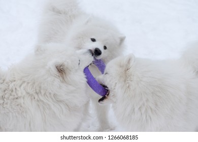 Samoyed dog playing in the snow