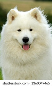 Samoyed dog, portrait, Male.