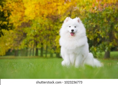 Samoyed dog posing in the beautiful park.