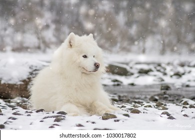 Samoyed dog posing near the river at winter time. Dog in snow.