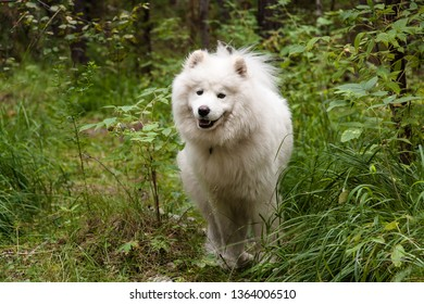 Samoyed dog posing. Smiling Samoyed on a Forest Path