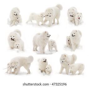 Samoyed dog and samoyed puppy play in snow