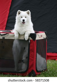 Samoyed at the dog show