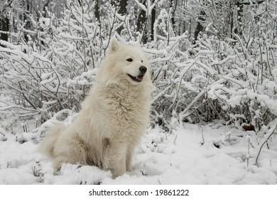 Samoyed dog in the snow bushes