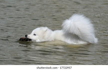 the samoyed dog - snow-white pet
