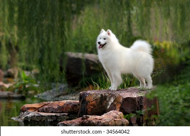 a Samoyed dog stand on stone