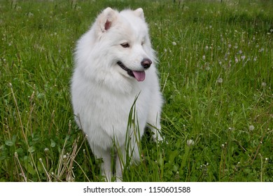 Samoyed dog is standing in a green grass.