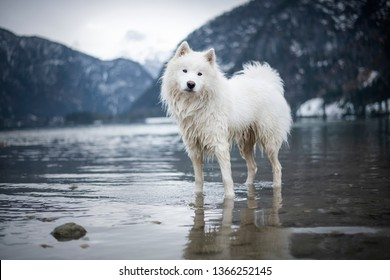 Samoyed dog standing in the lake. Samoyed dog between mountains.