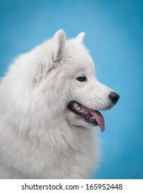 samoyed dog studio portrait