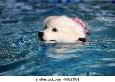 Samoyed dog wear life jacket swim in swimming pool, fluffy dog, happy dog, white dog, dog activity