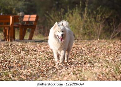 Samoyed dogin the park. Wet samoyed dog walks on the on the leaves in autumn