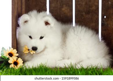samoyed dogs puppies isolated on white