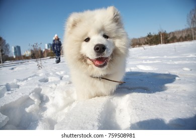 Samoyed husky puppy dog playing in snow in the winter outdoors