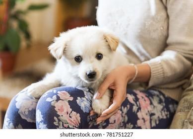 samoyed puppie portrait
