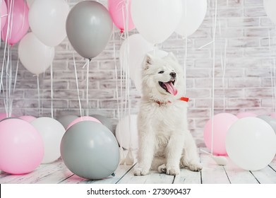 Samoyed puppy with balloons