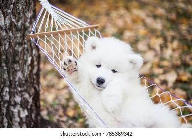 samoyed puppy in a hammock