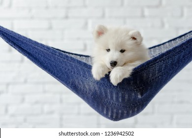 Samoyed puppy hanging in a blue hammock looking at the camera