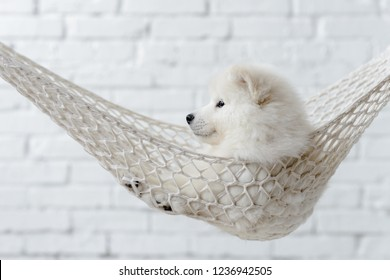 Samoyed puppy hanging in a hammock looking straight