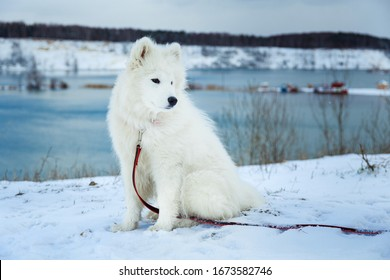 Samoyed puppy sits on the snow and looks away on the background of a lake, forest and hills. Pets on the street
