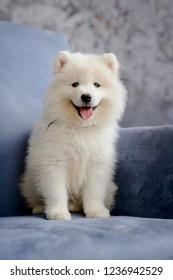 Samoyed puppy sitting on a blue chair looking at the camera smiling
