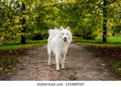 Samoyed puppy stands looking at the camera on a path surrounded with symmetrical trees, losing their leaves in autumn. Active dog is happy and tired, with tongue hanging out the side of her mouth.