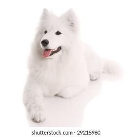 samoyed's dog on white background