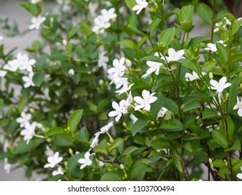 sampaguita jasmine flower white color the National Flower of ASEAN Countries  Philippines.
